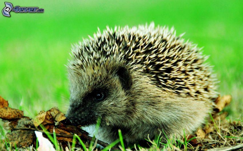 hedgehog, autumn leaves, lawn