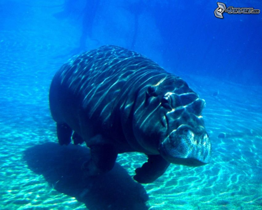 hippo, blue water