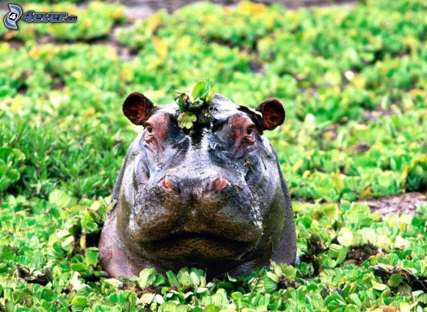 hippo, plants