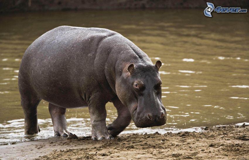 hippo, River
