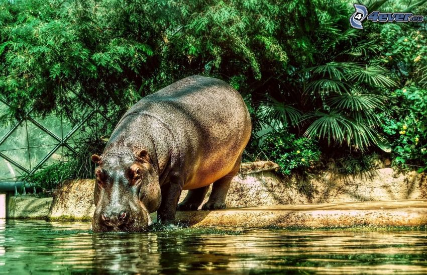 hippo, water, greenery