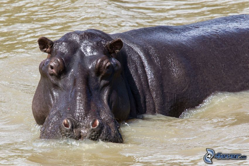 hippo, water