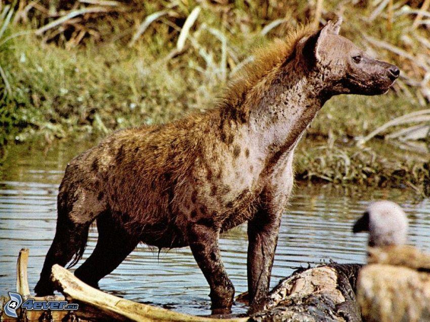 hyena, predators, animals, Africa