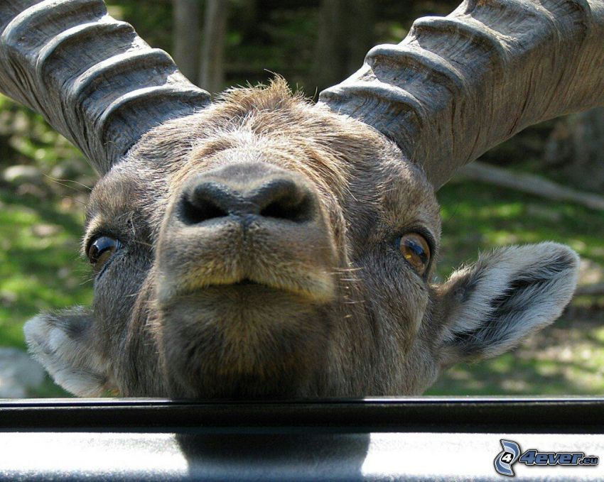 ibex, head