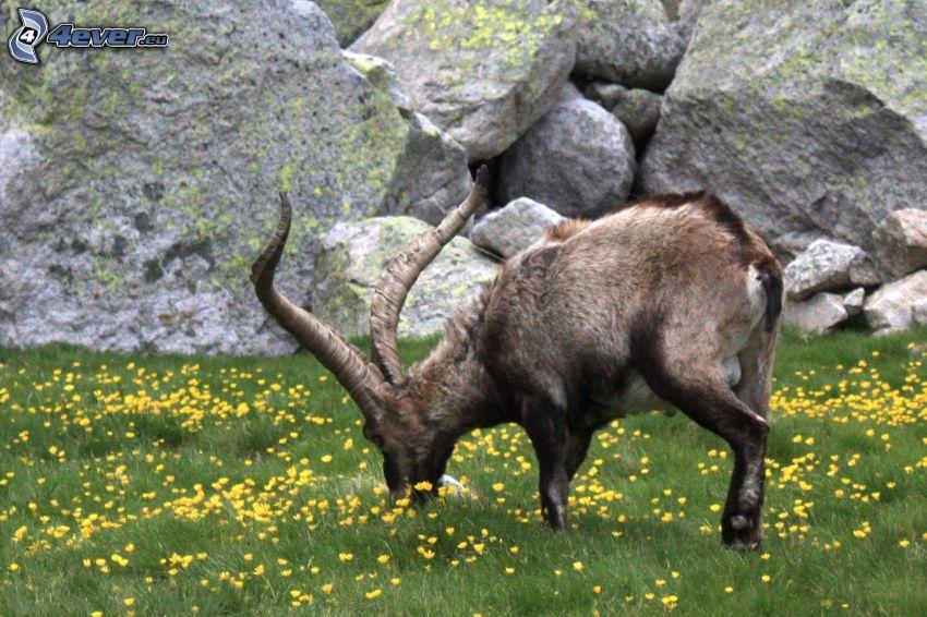 ibex, meadow, rocks