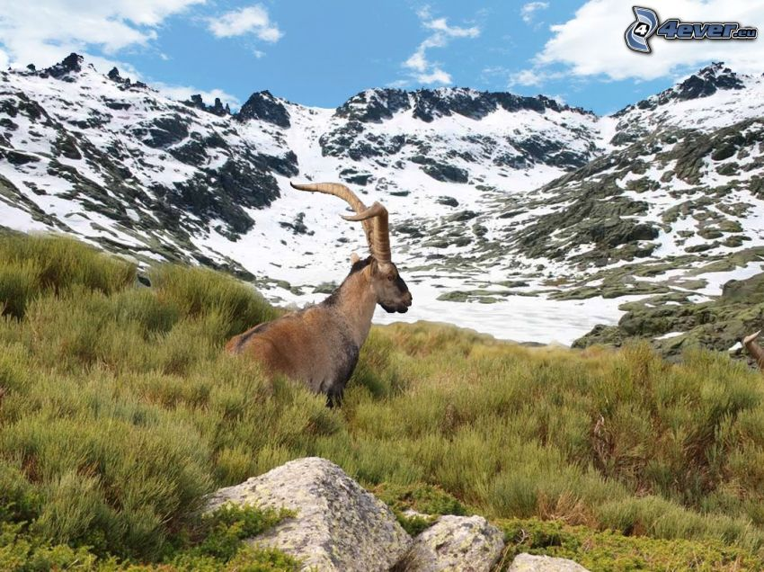 ibex, rocks, meadow