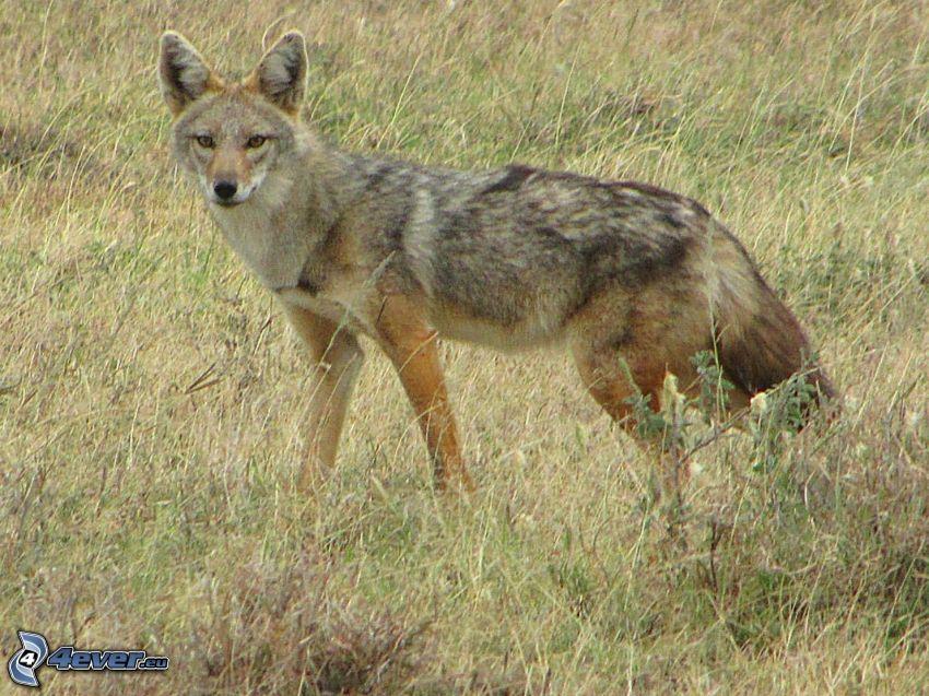 jackal, dry grass