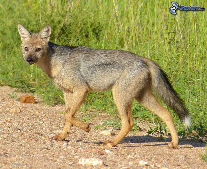 jackal, high grass