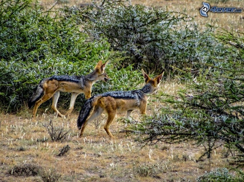 jackals, bushes