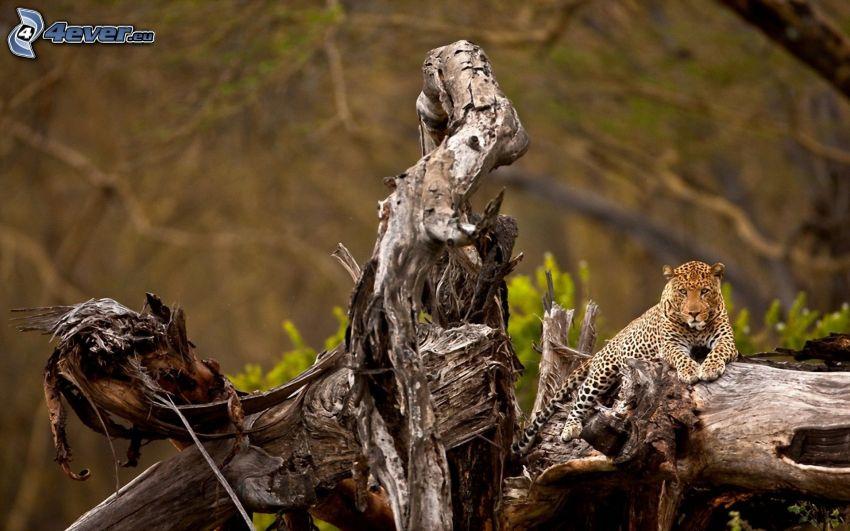 jaguar, stump