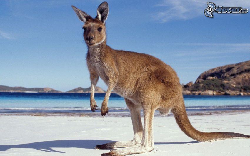 kangaroo, sea