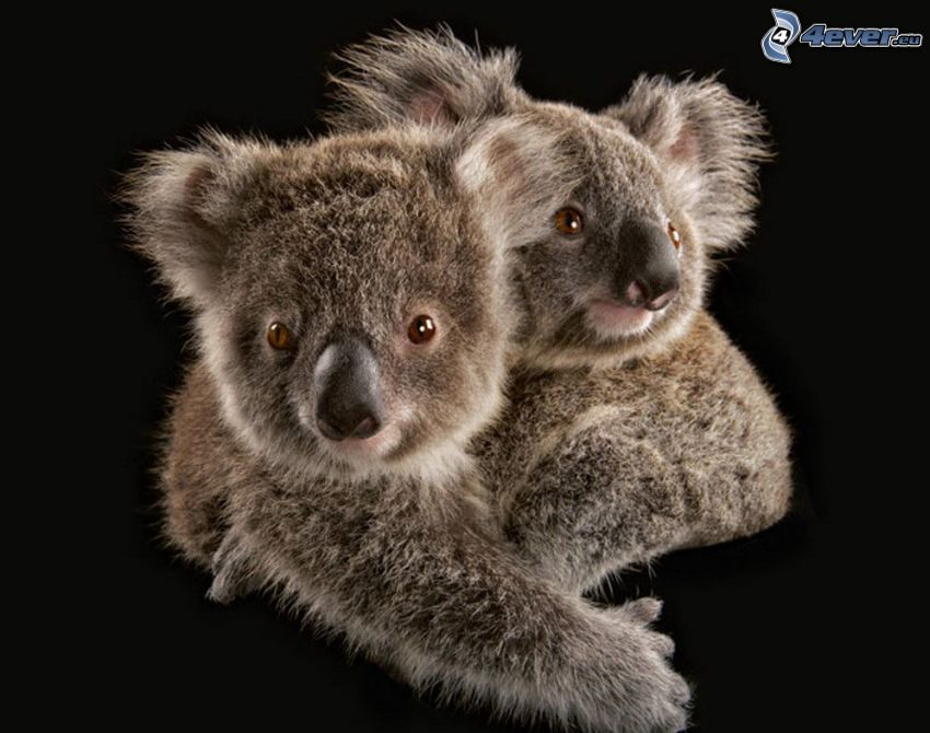 koalas, hug