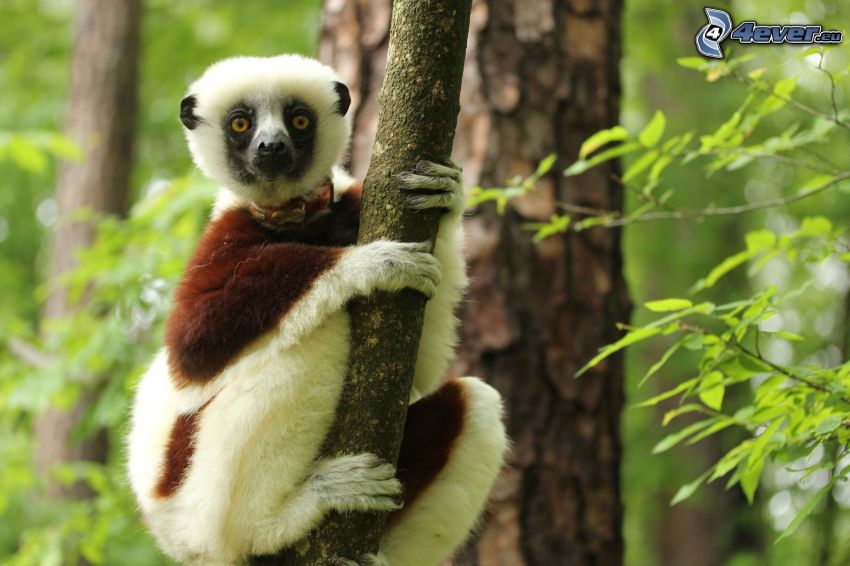 lemur, branch, green trees