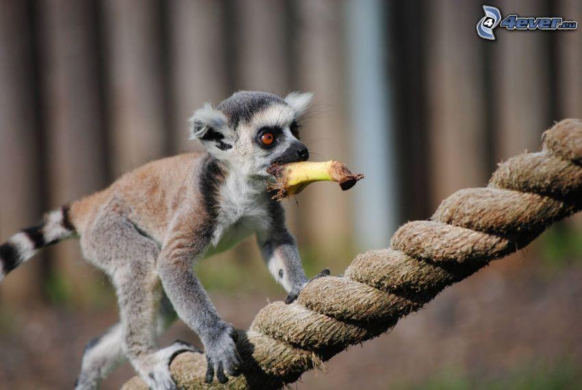 lemur, rope