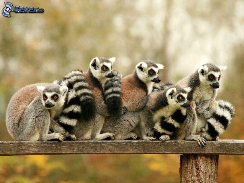 lemurs, bench