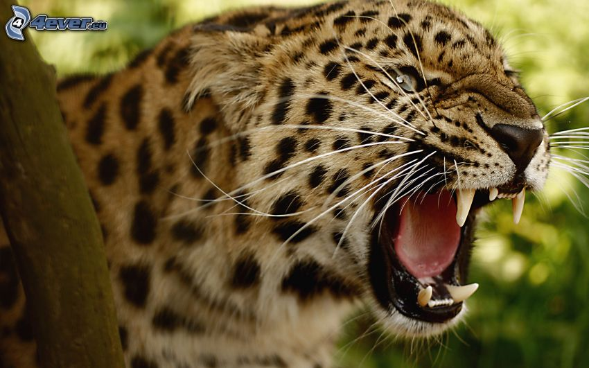 leopard, scream