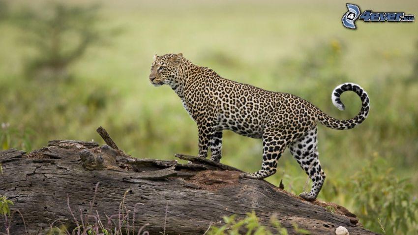 leopard, stump