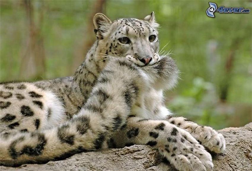 leopard, tail
