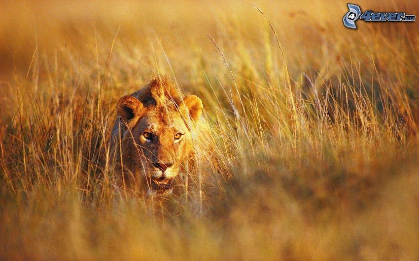 lion, blades of grass