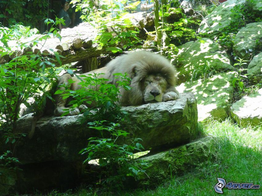 lion, sleep, greenery