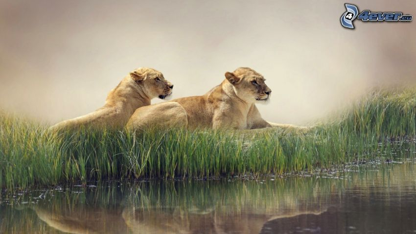 lion, water
