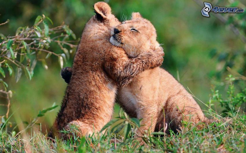 lion cub, hug