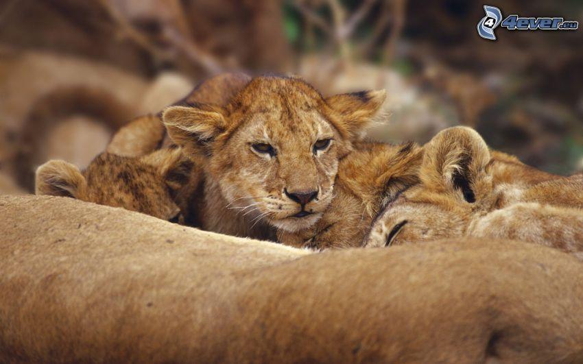 lion cub, lions