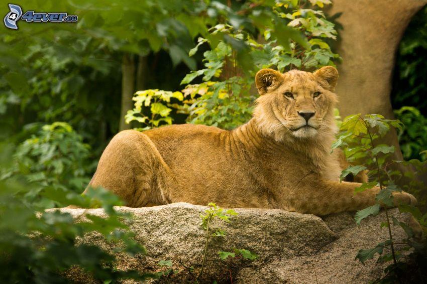 lioness, greenery