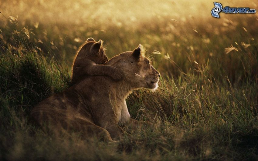 lioness, lion cub