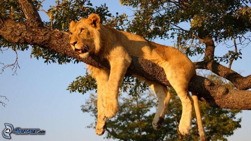 lioness, tree