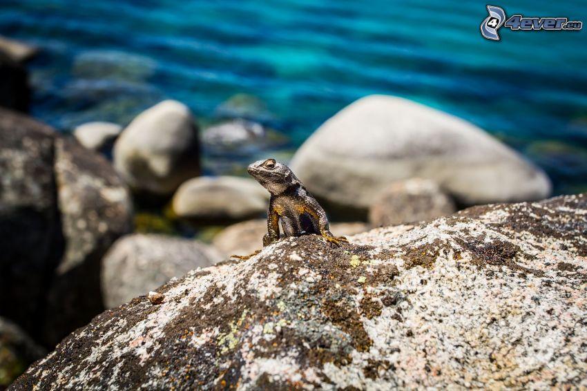 lizard, boulder