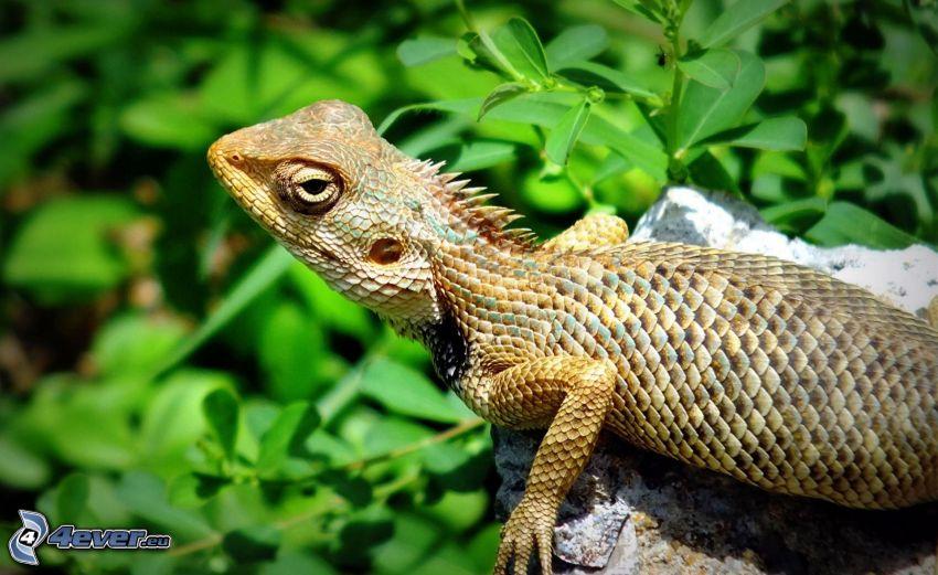 lizard, stone, greenery