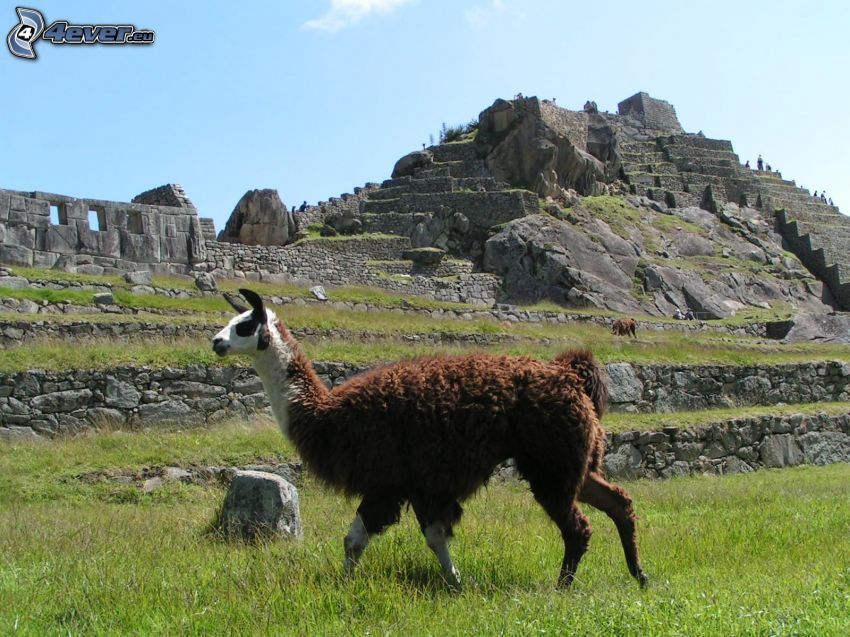 Llama, Machu Picchu