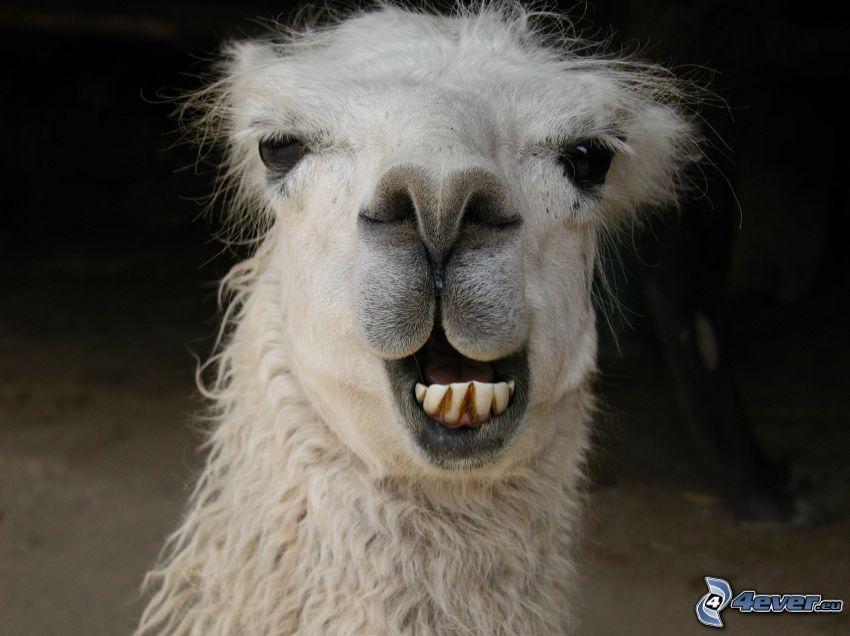 Llama, teeth