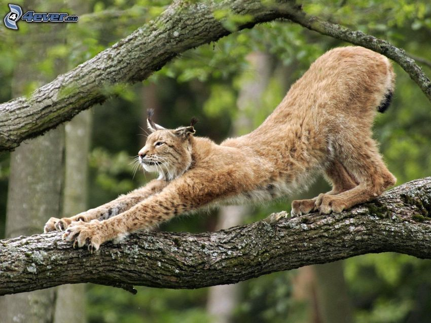 lynx, branches