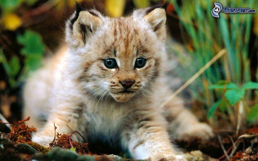 lynx, cub