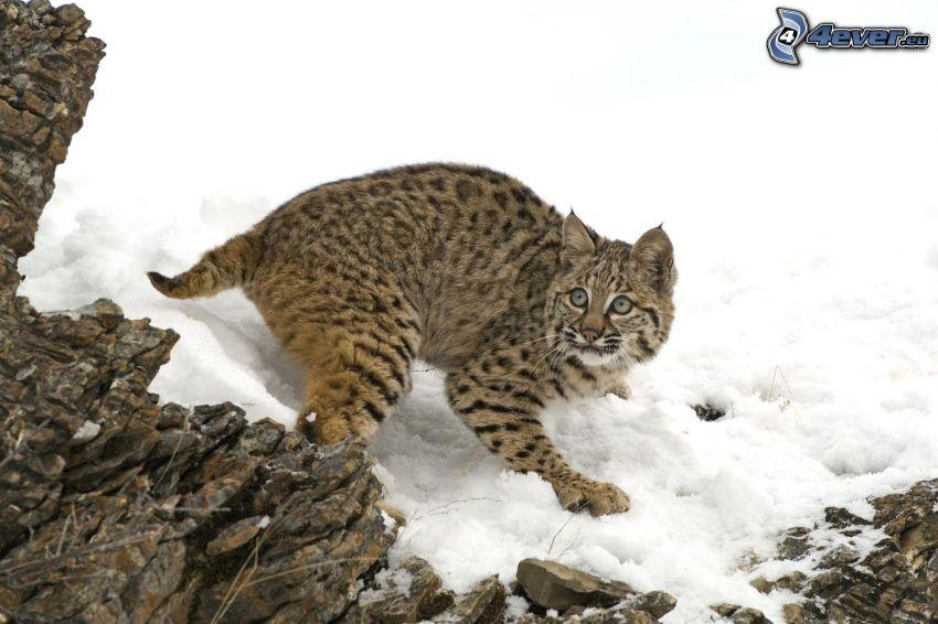 lynx, snow, fear