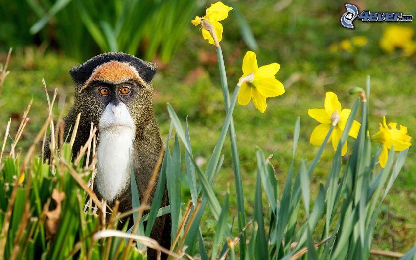 monkey, daffodils