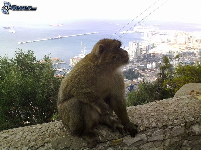 monkey, wall, city, sea, Gibraltar