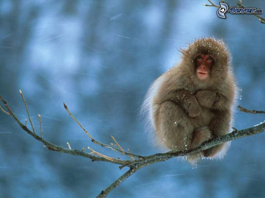 monkey, winter