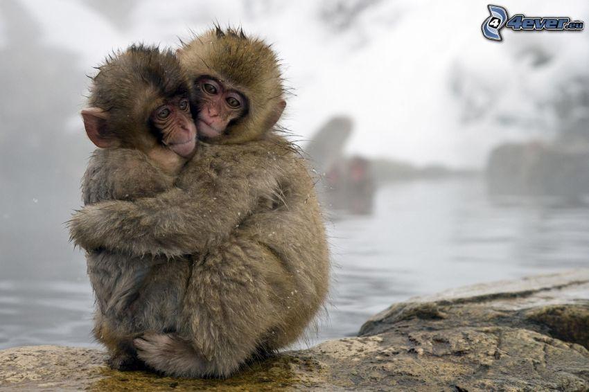monkeys, hug