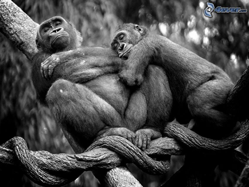 monkeys, sleep, black and white photo