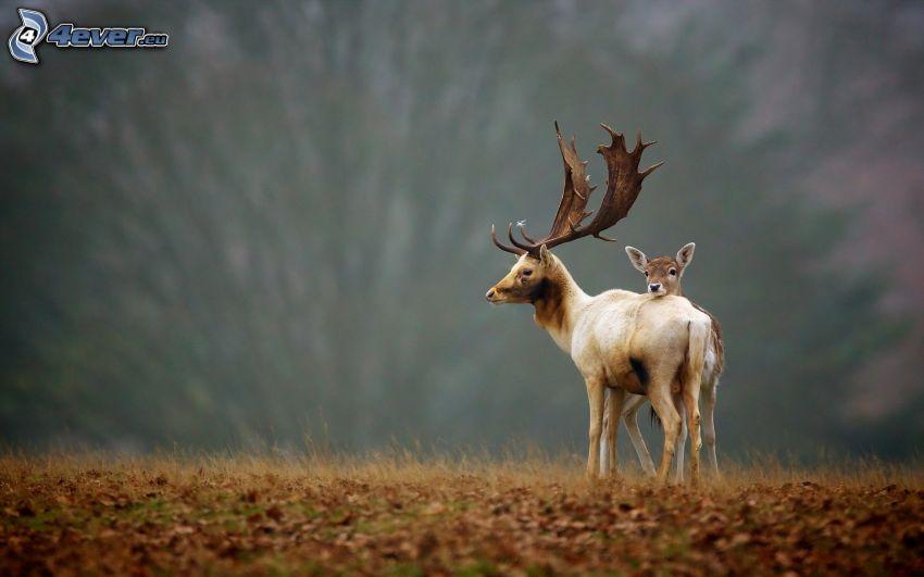 reindeer, cub