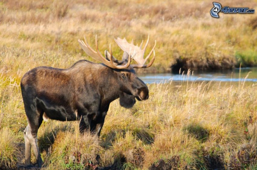 moose, dry grass
