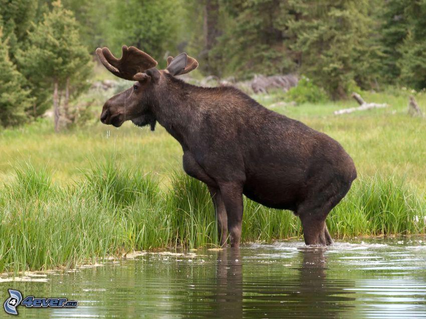 moose, greenery