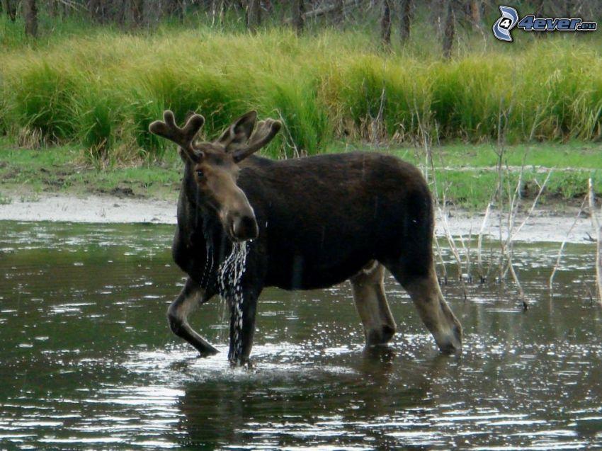 moose, lake
