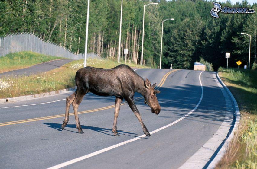 moose, road, coniferous forest