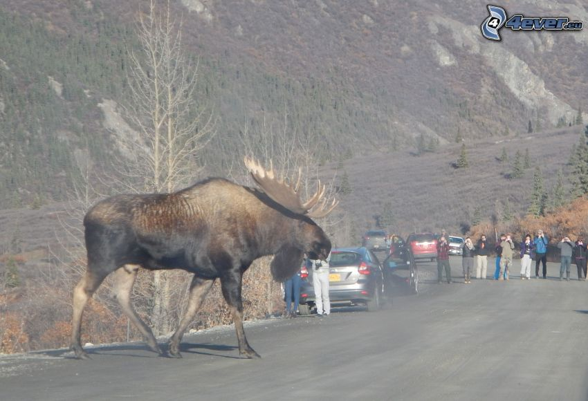 moose, road, tourists, cars