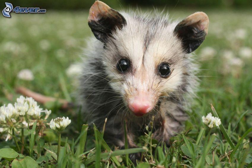 opossum, grass, clover