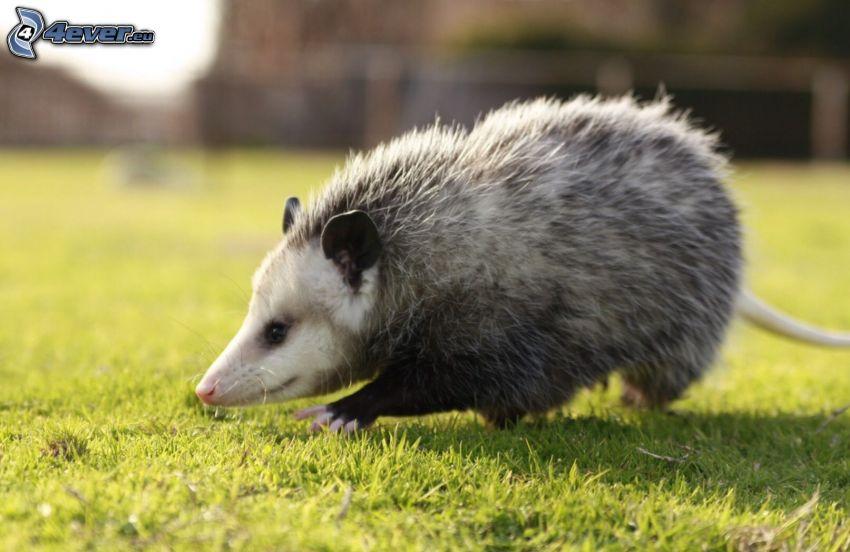 opossum, lawn